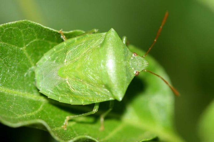 Common Garden Pests in Urban Farming, garden bugs pictures, good garden bugs, garden pests control, types of plant pests, bad garden bugs, vegetable garden pests, garden beetles, garden pests list,