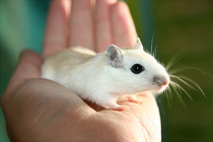 Are Gerbil Good Pets For Children?, gerbil vs hamster vs guinea pig, gerbil vs guinea pig, gerbil cost, gerbil vs hamster size, gerbil vs rat, pet gerbil lifespan, mongolian gerbil, gerbil vs mouse,