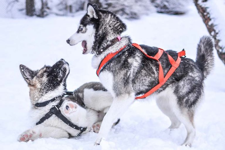 The Truth About Using Harness for Your Husky, husky walking harness, best lead to stop husky pulling, dog harness, best leash for husky, harness or collar for husky, how to stop a husky from pulling on walks, best training collar for siberian husky, combination anti-pull and walking harnesses,