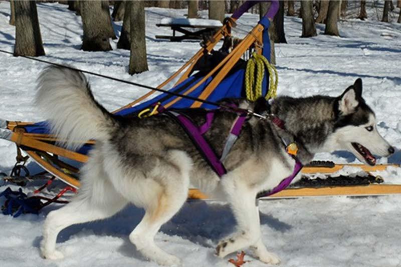 Tips for Preventing Husky from Pulling