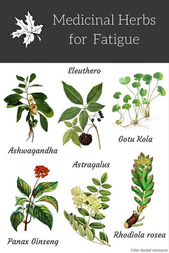 Medicinal Herbs for Fatigue