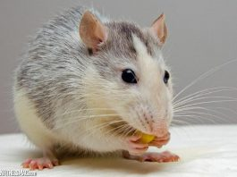 Humane Options to Get Rid of Rodents